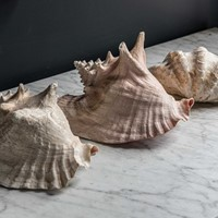 Collection of Large Sea Shells