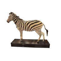 Taxidermy South African Zebra