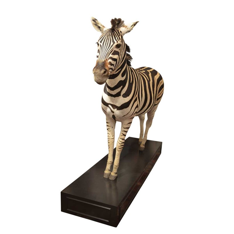 Taxidermy South African Zebra-anthony-redmile-ltd-0611c-main-637334385222504170.jpg