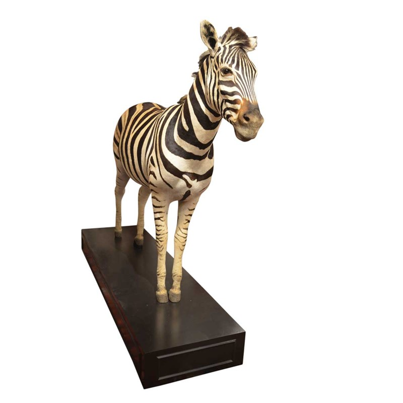 Taxidermy South African Zebra-anthony-redmile-ltd-0611d-main-637334385289379735.jpg