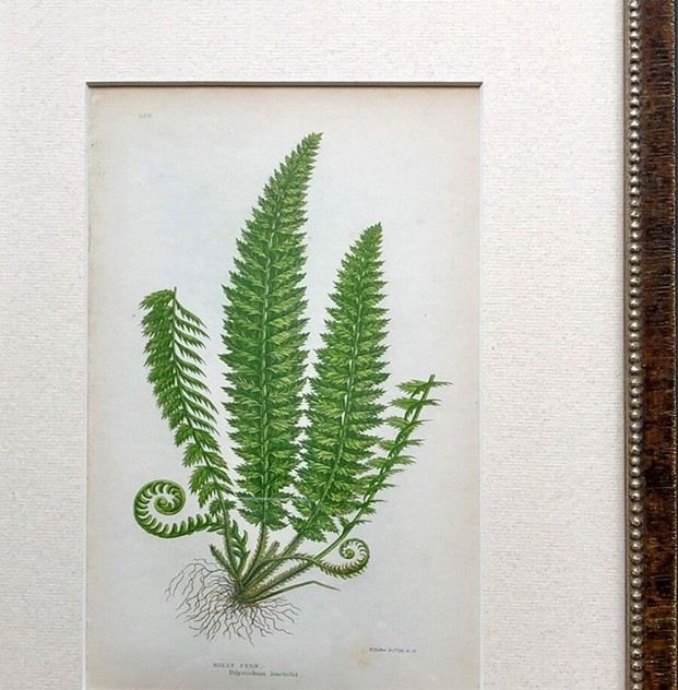 12 Hand Coloured Ferns Dating from 1865-christopher-hall-antiques-ferns06_preview_main_636529378303899921.jpeg