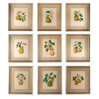 Nine 19th Century Pear prints