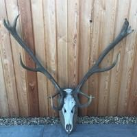 Red Deer Skull and Antlers