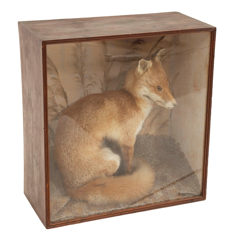 Taxidermy fox-david-tupman-antiques-img-8885-main-636880751398387050.jpg