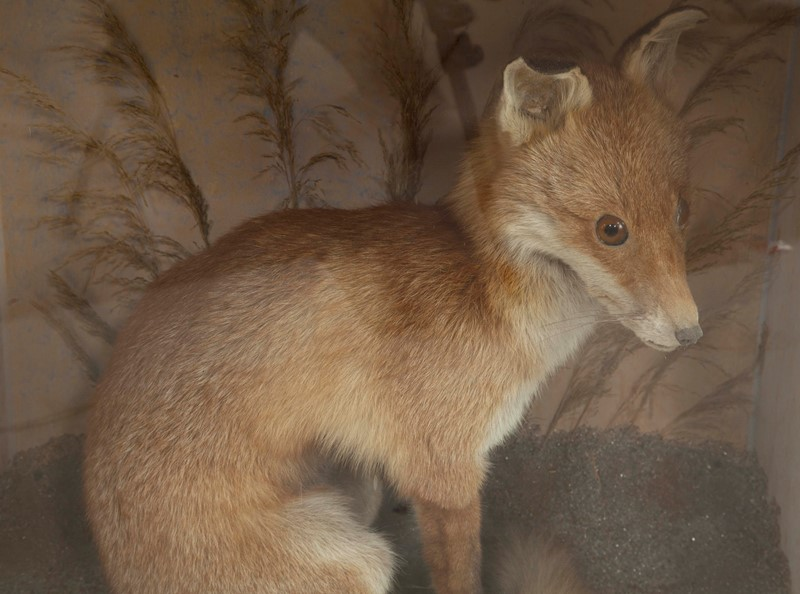 Taxidermy fox-david-tupman-antiques-img-8894-main-636880751570574757.jpg