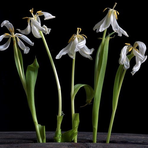 Five White Dancing Tulips