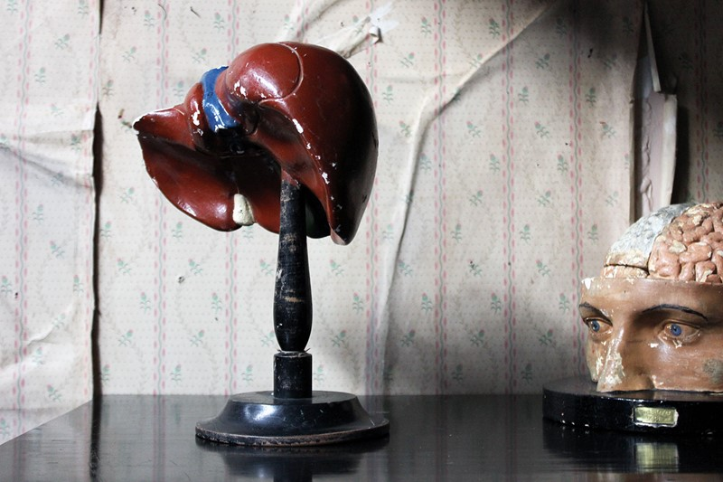 German Anatomical Model of a Liver on Stand c.1890-doe-and-hope-anatomicallivermodel1-main-637383597245779817.jpg