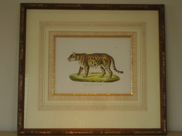 Beautifully framed antique print of tiger.-empel-collections-antique framed print of tiger or jaguar.09 076_main_636065239102849678.jpg