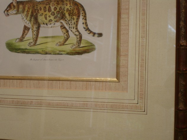 Beautifully framed antique print of tiger.-empel-collections-framed antique print of jaguar or American Tiger-002_main_636065238727338422.JPG