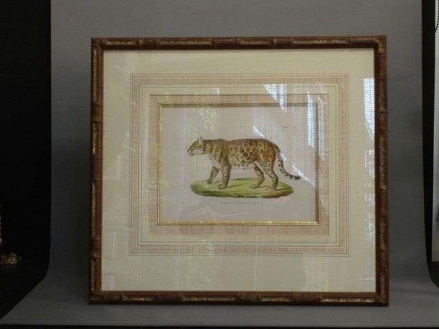Beautifully framed antique print of tiger.-empel-collections-framed antique print of jaguar or American Tiger_main_636065238665091230.JPG