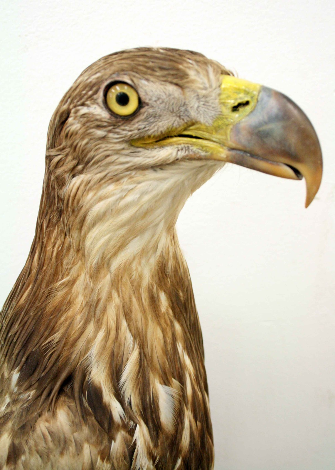 large taxidermy stuffed golden eagle decorative collective
