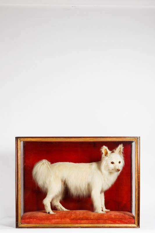 An original Victorian taxidermy cased dog-house-of-taxidermy-dog2-main-637362846467062756.jpg