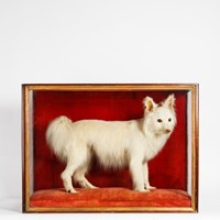 An original Victorian taxidermy cased dog