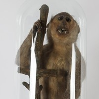 Taxidermy Victorian monkey under large glass dome