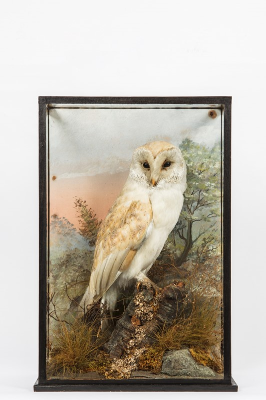 Barn owl by hine of southport-house-of-taxidermy-sun1-main-637357857971844836.jpg