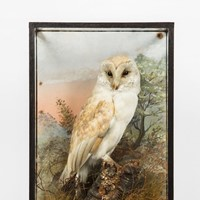 Barn owl by hine of southport