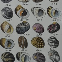 20 hand coloured prints of shells c1840