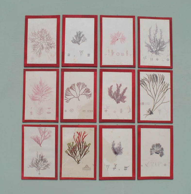 set of 12 seaweed nature prints -inglis-hall-antiques-dsc-0569-main-636954483547583036.JPG