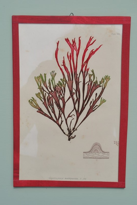 set of 12 seaweed nature prints -inglis-hall-antiques-dsc-0574-main-636954483582270746.JPG