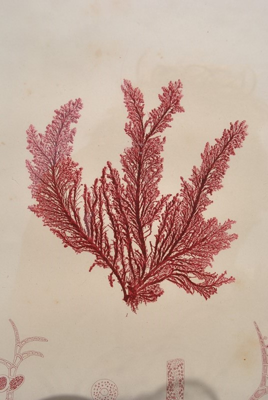 set of 12 seaweed nature prints -inglis-hall-antiques-dsc-0581-main-636954483639302024.JPG