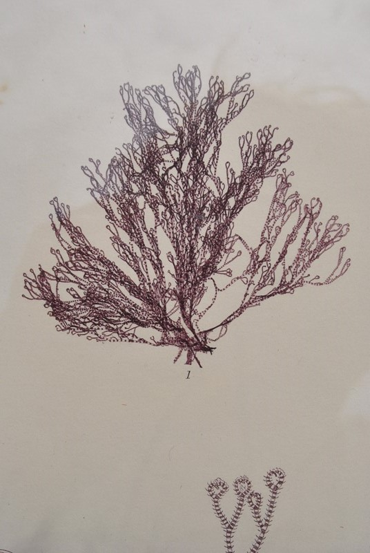 set of 12 seaweed nature prints -inglis-hall-antiques-dsc-0585-main-636954483671801135.JPG