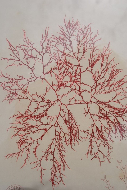 set of 12 seaweed nature prints -inglis-hall-antiques-dsc-0586-main-636954483679613988.JPG
