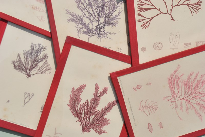 set of 12 seaweed nature prints -inglis-hall-antiques-dsc-0588-main-636954483695863543.JPG