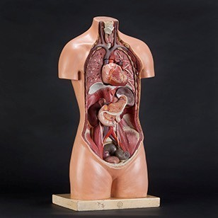 Anatomical Torso with Removable Heart by SOMSO