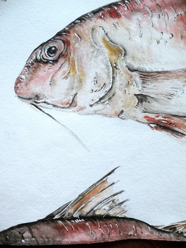 large original watercolour ' Red Mullet '-mountain-cow-DSCN1115-main-636749307450219775.jpg