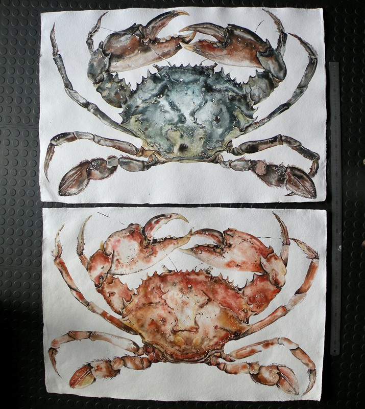 large original watercolour of a cooked crab-mountain-cow-dscn3452-main-637191953008175891.jpg