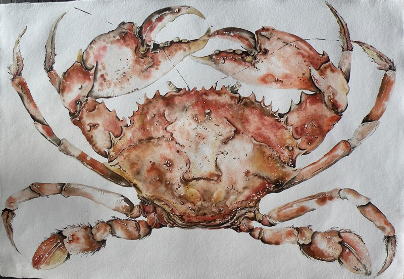 large original watercolour of a cooked crab-mountain-cow-dscn3455-main-637191951382082160.jpg