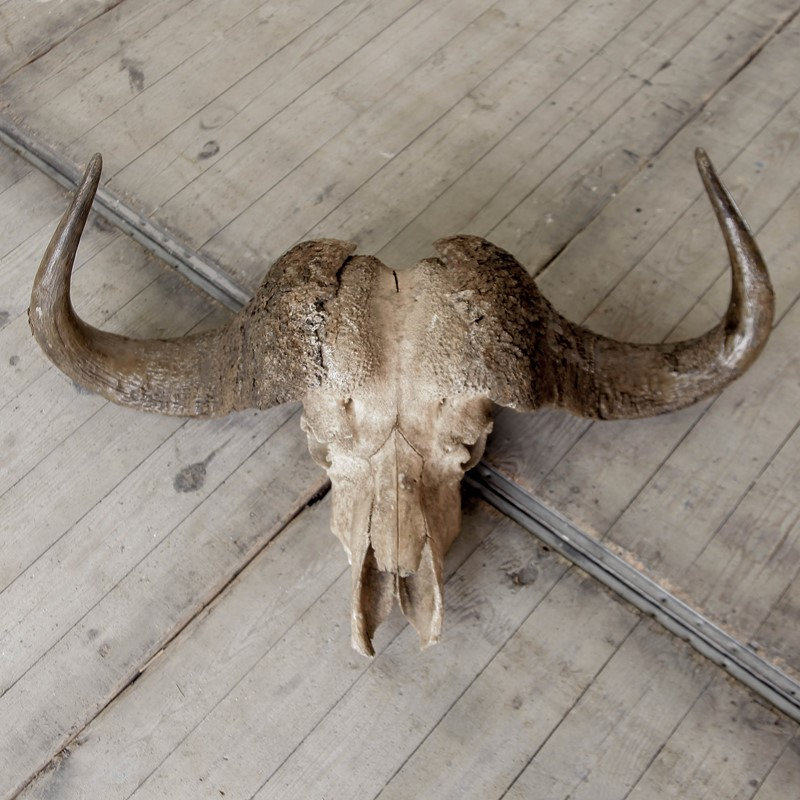 Buffalo Skull-portico-antiques-and-interiors-skull-2-main-637061717204986576.JPG