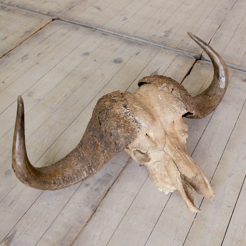 Buffalo Skull-portico-antiques-and-interiors-skull-5-main-637061715959724761.JPG