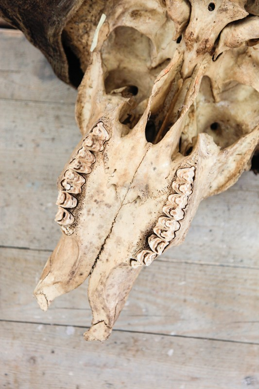 Buffalo Skull-portico-antiques-and-interiors-skull-main-637061717293424772.JPG