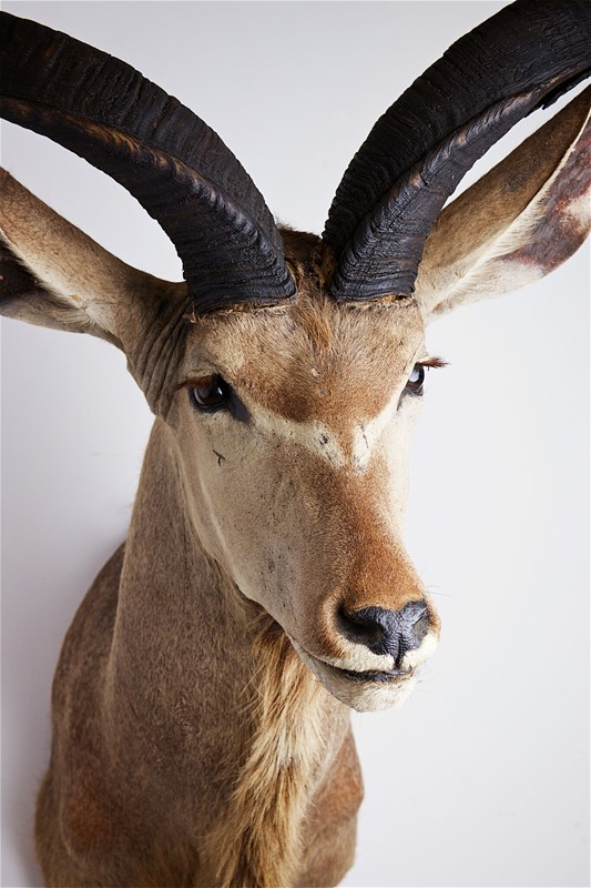 Greater Kudu head and shoulders-stratford-armouries-limited-img-8085-main-636826233621511233.jpg