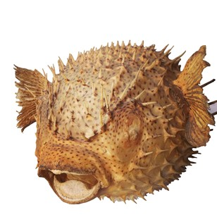 Giant puffer porcupine fish
