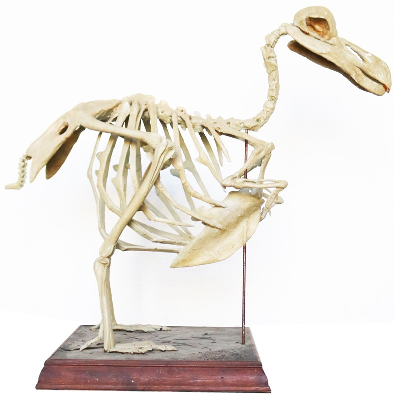 An Antique Cast of a Complete Dodo Skeleton-uk-heritage-30018-11-main-637232384067361161.JPG